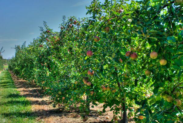 Можно ли яблоню сажать рядом с калиной 11